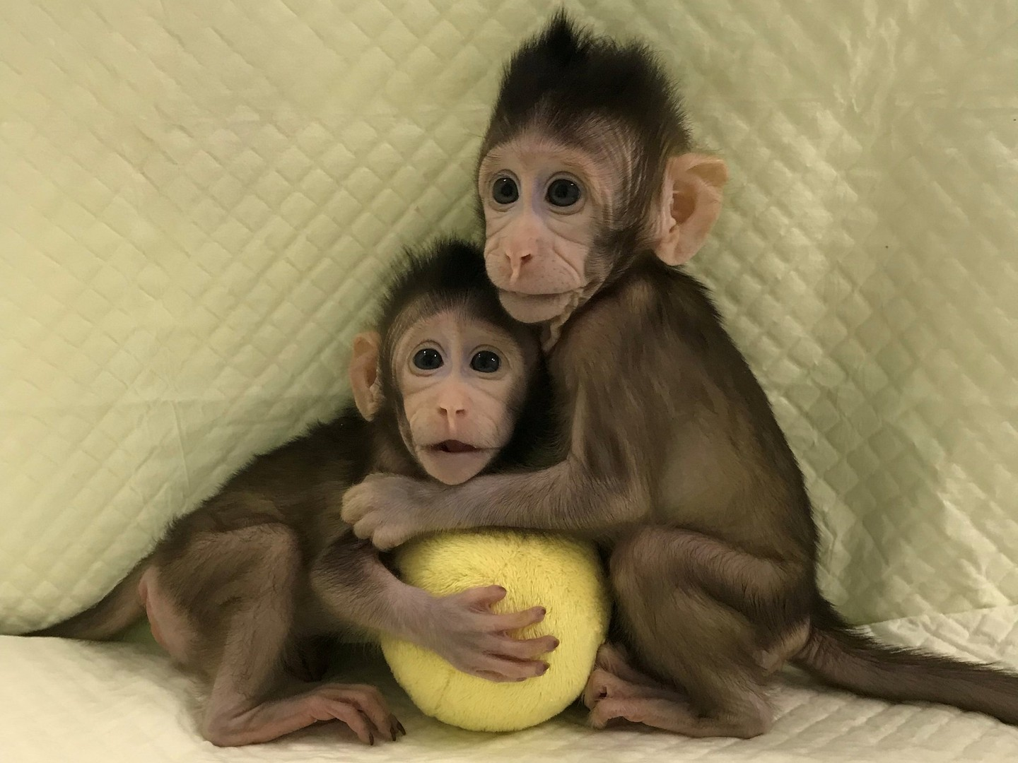 Zhong Zhong and Hua Hua, born December 5, 2017. The long-tailed macaques are the first primates to be cloned using the somatic cell nuclear transfer technique, which theoretically allows for a limitless amount of clones to be produced. Photo: Qiang Sun and Mu-ming Poo, Chinese Academy of Sciences.